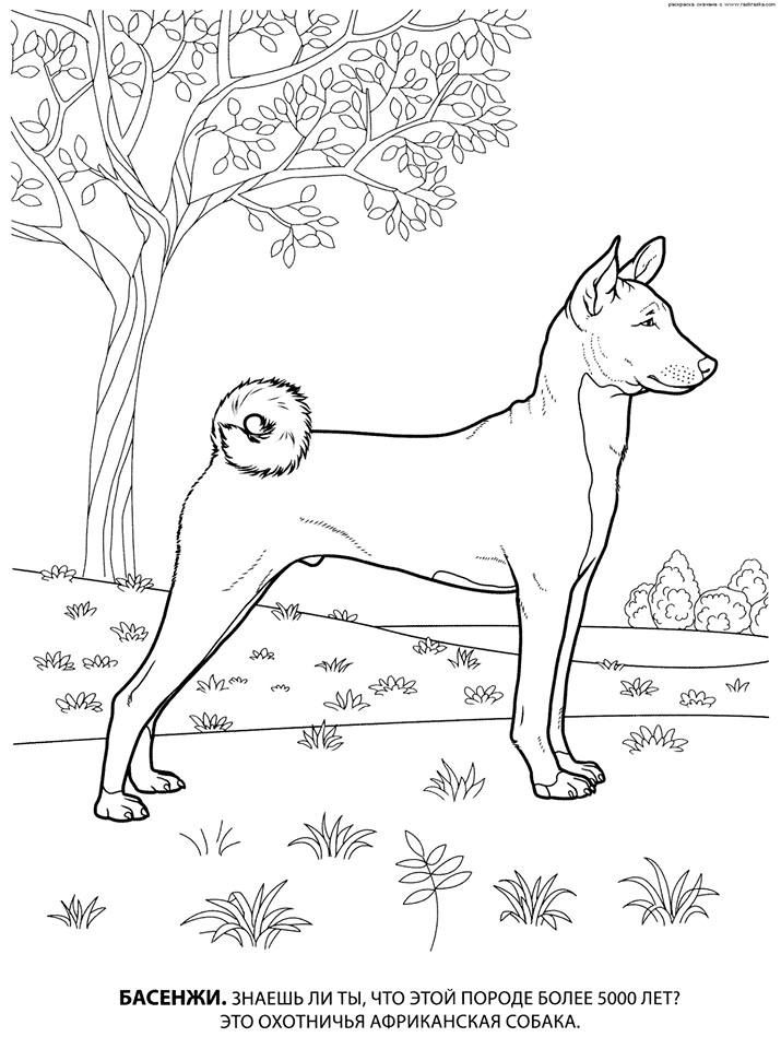 Basenji Color Page Dog Coloring Page Dog Coloring Book Animal Drawings