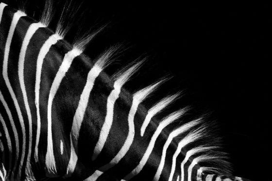 Állatok fekete-fehérben - Toochee