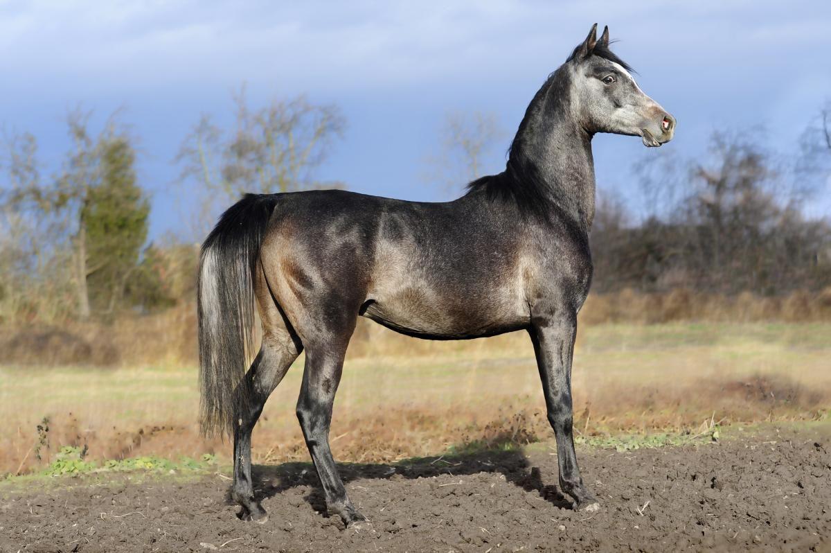 Grey gelding