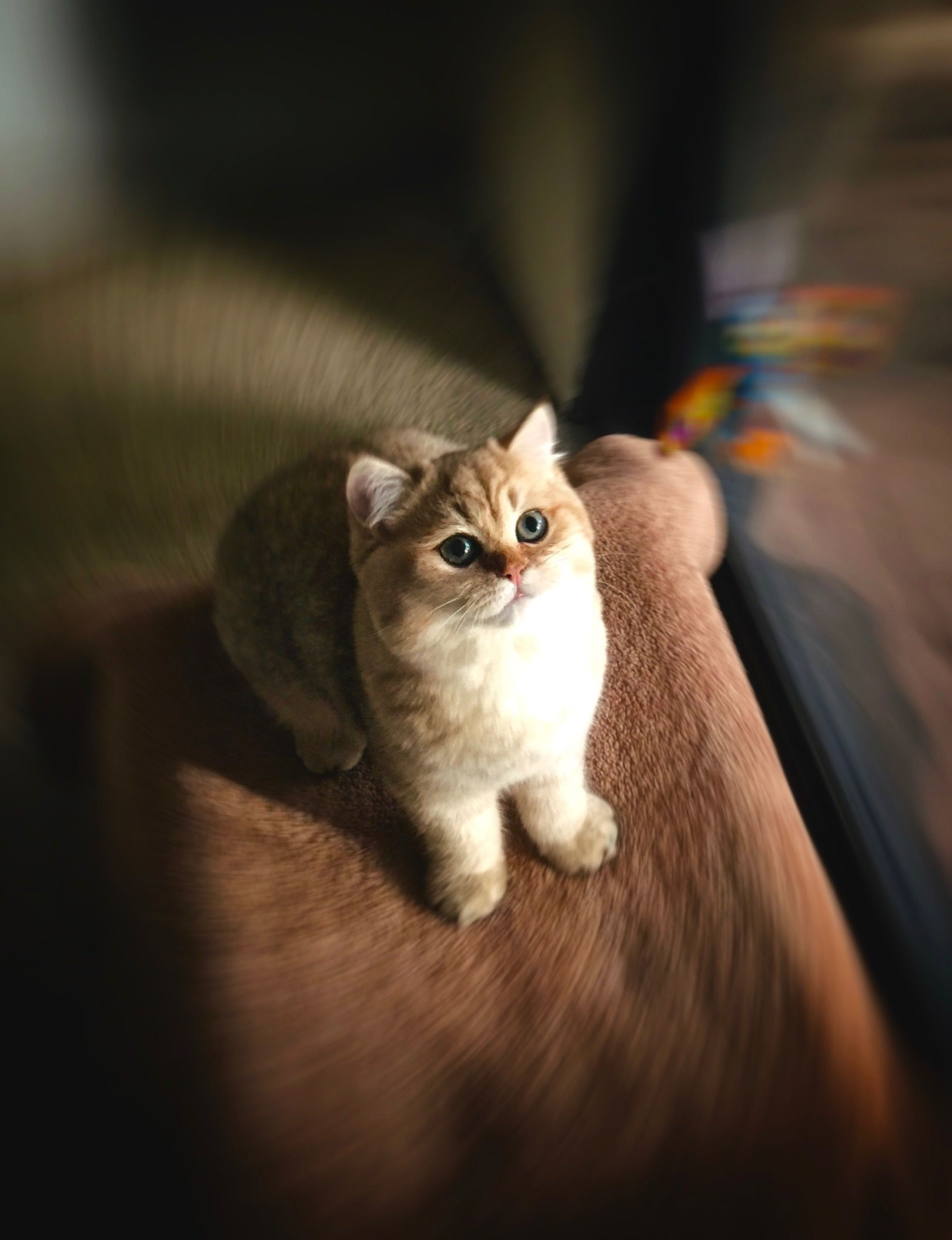 George Chumley Shaded Golden British Shorthair 5 Months Old British Shorthair British Shorthair Cats Cute Cats And Kittens