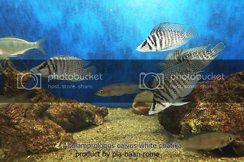 ขาย ปลาหมอส จากทะเลสาปแทงก นย กา ปลาบ านโรม 0093472 ซ อ ขาย แลกเปล ยน Ninekaow Com ปลาหมอส ผม ขาย