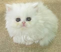Cute Persian Cat Karachi For More Details Visit Our Site Post Free Ads Pakistan Cute Cats Pretty Cats Cute Animals