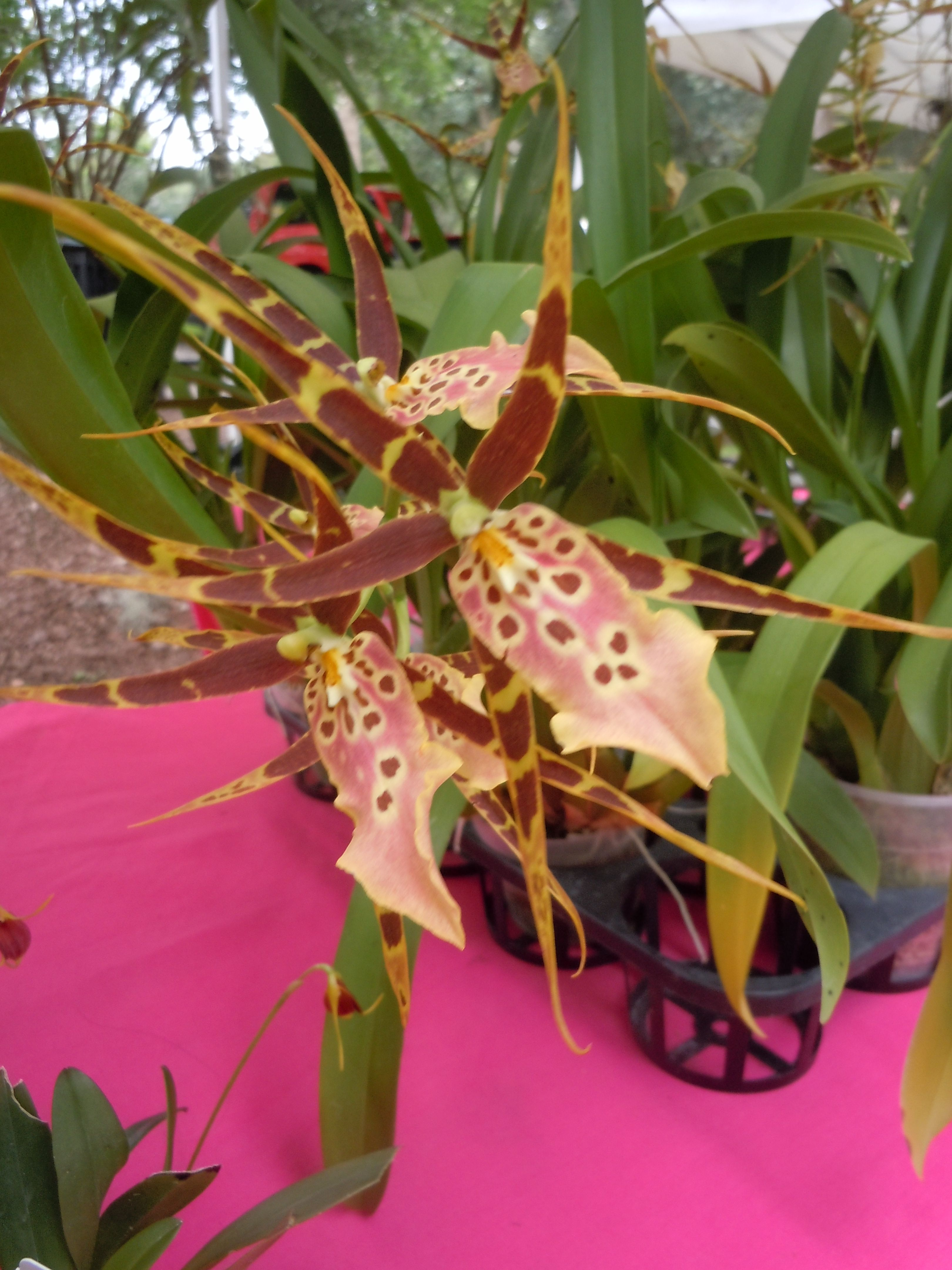 Dramatic orchid from the orchid nanny from apopka as