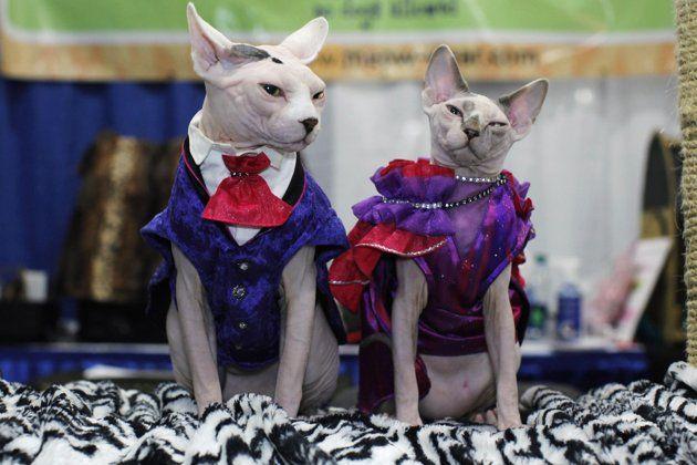 Sphynx Kitty Beautiful Cats Sphynx Cat Pretty Cats