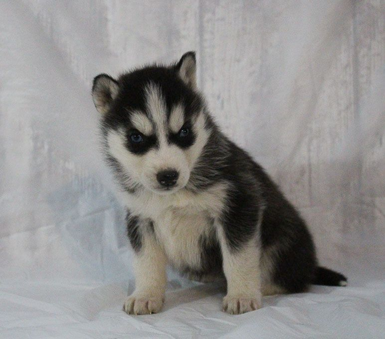 Sherie A Female Akc Siberian Husky Puppy For Sale In New Haven
