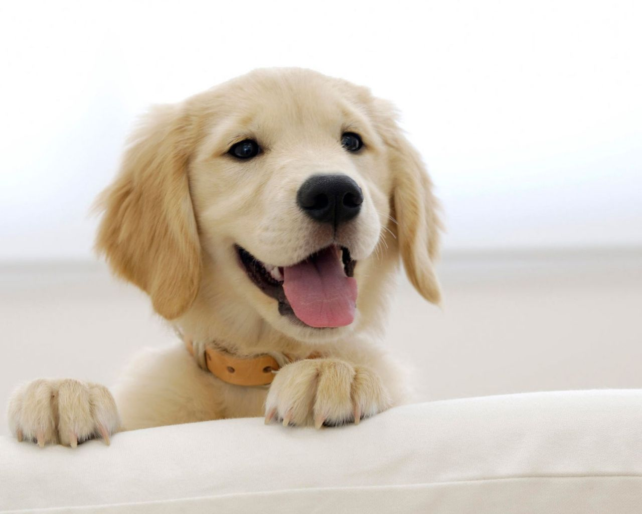 FOR THE GOLDEN RETREIVER FANS!!! HERE WE ARE!!! THE GOLDEN TIPS ON THE EARS AND THE BRIGHTLY LIT BACKGROUND CREATES A STUNNING BEAUTY AND ADORBS FACTOR IN THIS PIC!!! I JUST WANT TO PLAY WITH IT!! RAGGHT!!