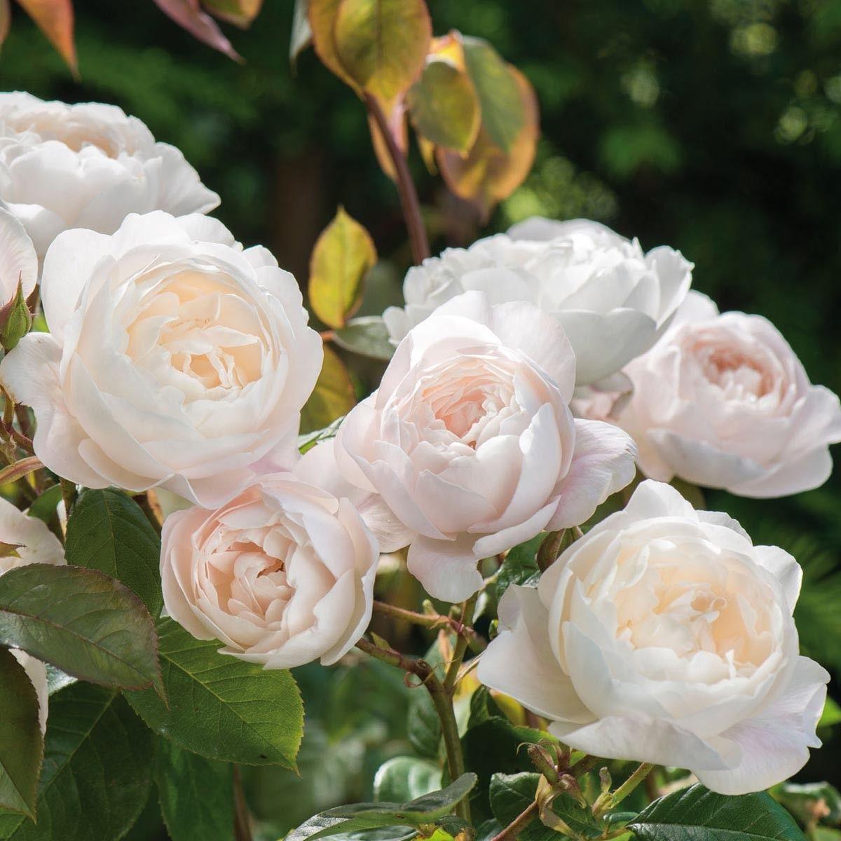 Desdemona David Austin Rose Shrub Rose Exquisitely Beautiful
