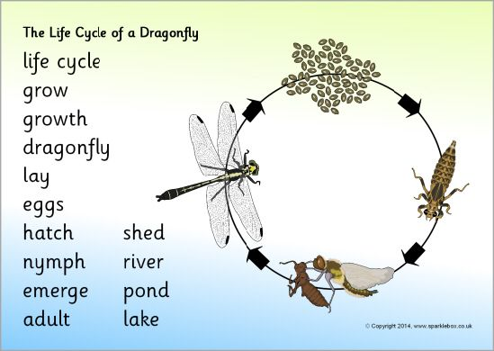 Life Cycle Of A Dragonfly Word Mat Sb10864 Sparklebox Dragonfly Life Cycle Life Cycles Life Cycle Craft