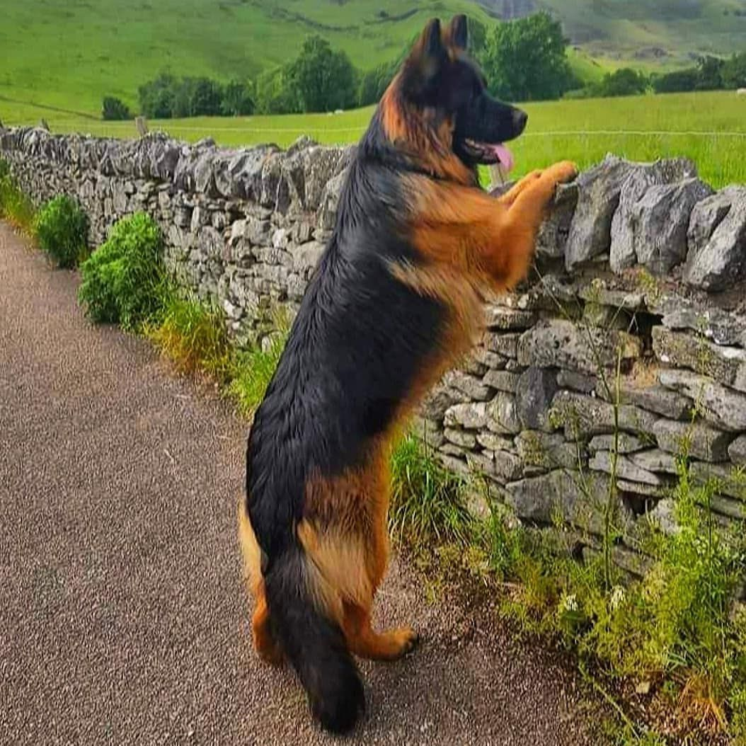 German Shepherd Dog Gsd On Instagram How Beautiful Follow
