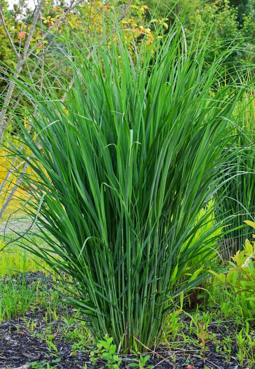 Panicum Virgatum Northwind Zone 5 To 9 Ornamental Grasses Garden Inspiration French Country Garden
