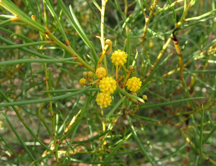 Acacia cardiophylla gold lace dress