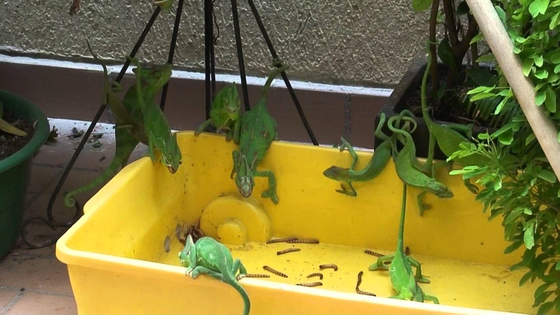 Chameleon Feeding Frenzy Female Veiled Chameleon Breeders Feeding On Super Worms Baby Chameleon Chameleon Veiled Chameleon