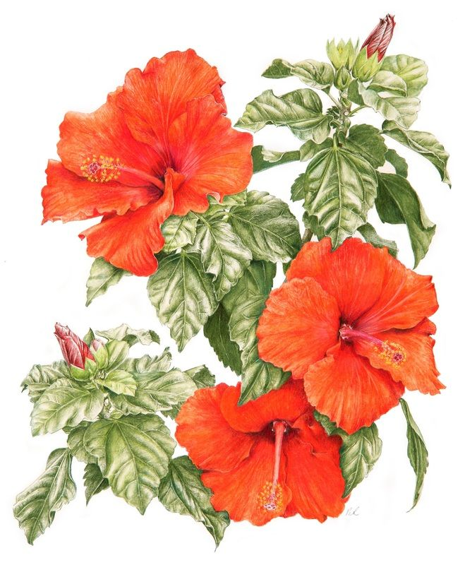 Coloured Pencil Work Roger Reynolds Botanical Art Hibiscus