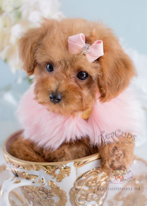Adorable Toy Poodle Puppy By Teacup Puppies Boutique Poodle