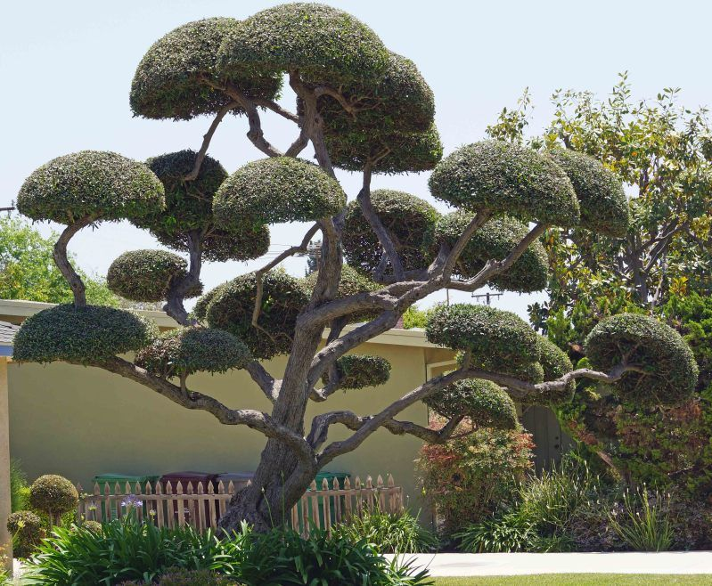 Image Detail For Cloud Pruning Is Usually Seen In Japanese Style Gardens Or Bonsai Cloud Pruning Japanese Tree Unique Trees