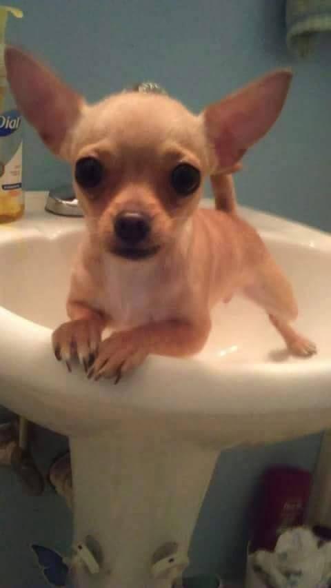 Time For Your Bath Lol Cute Chihuahua Chihuahua Puppies Chihuahua