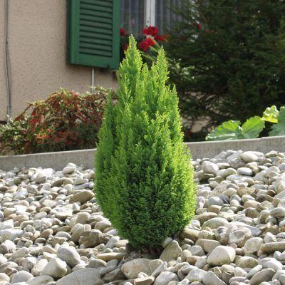 Falso cipresso per l autunno giardinaggio pinterest gold for Cipresso nano