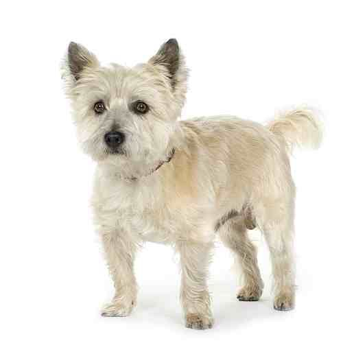 Excellent Images For Cairn Terrier Haircut Terrier Breeds