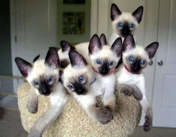 Who Left The Copier Running Siamese Kittens Kittens Beautiful Cats