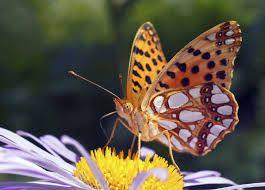 Kuvahaun tulos haulle kotimaiset perhoset