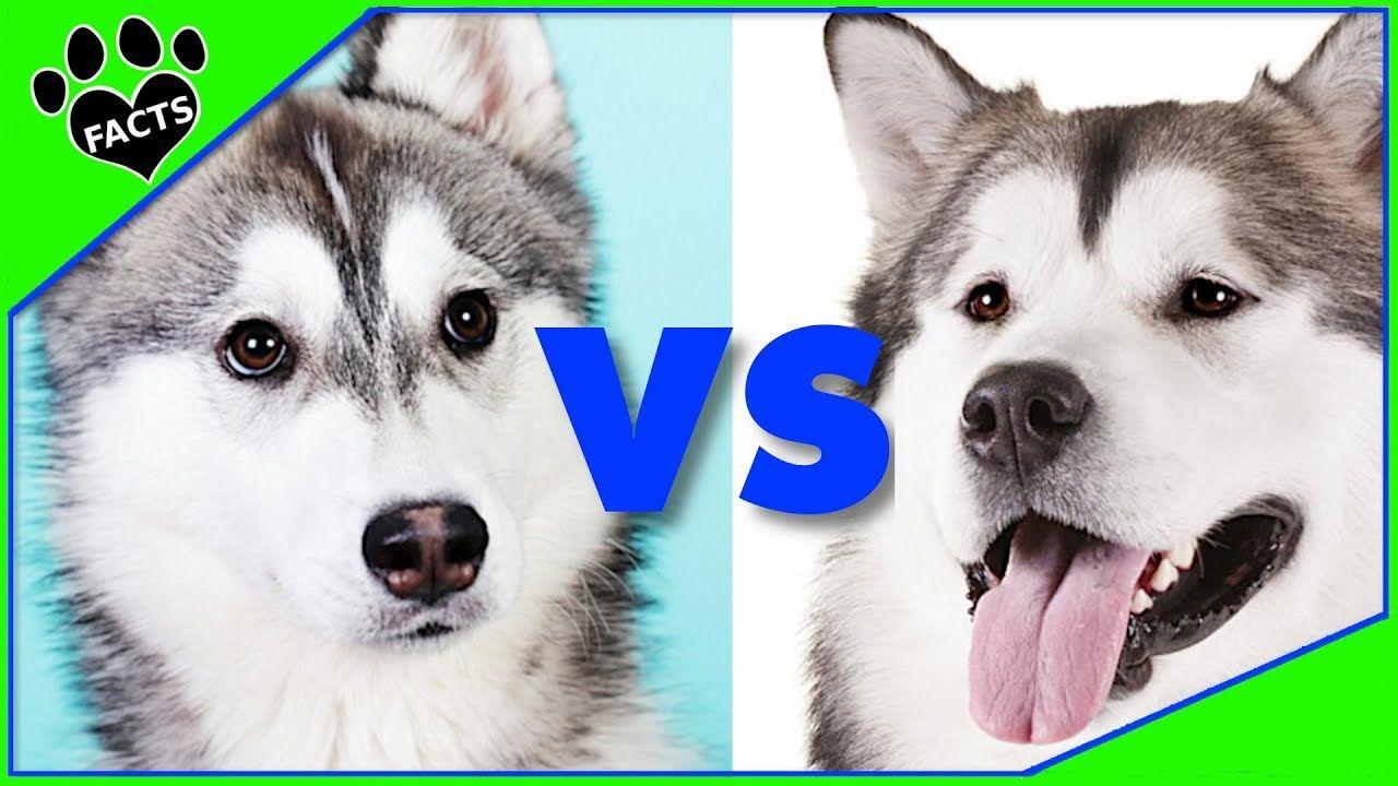 Siberian Husky Vs Alaskan Malamute Which Is Better Dog Vs Dog