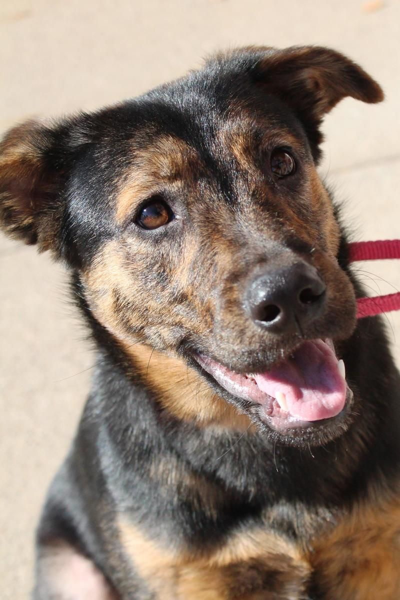 Adopt Desi on Shepherd mix dog, Puppies, Dogs