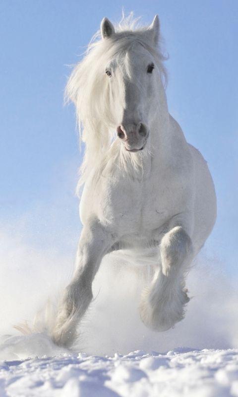 Animal Horse Clydesdale Draught Horse Black White Mobile Wallpaper Horses Horses In Snow Horse Wallpaper