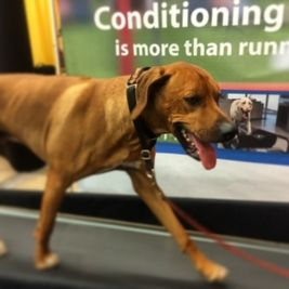 Go Razzi Work It On The Treadmill Treadmill Dogs