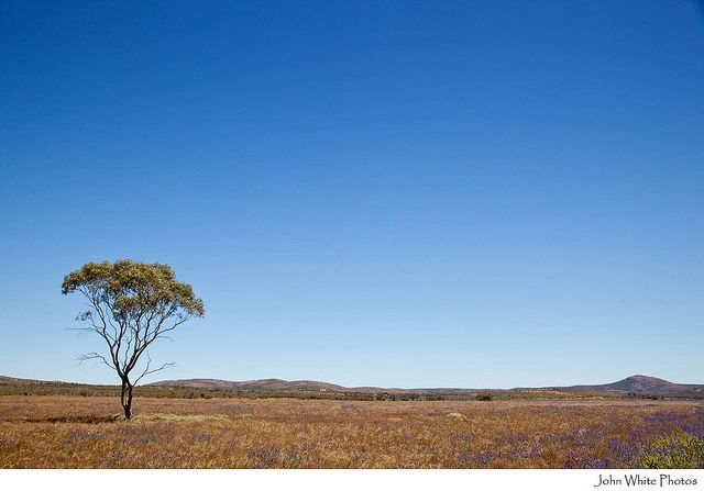 Single gum tree on a grass plain Gawler Ranges South Australia