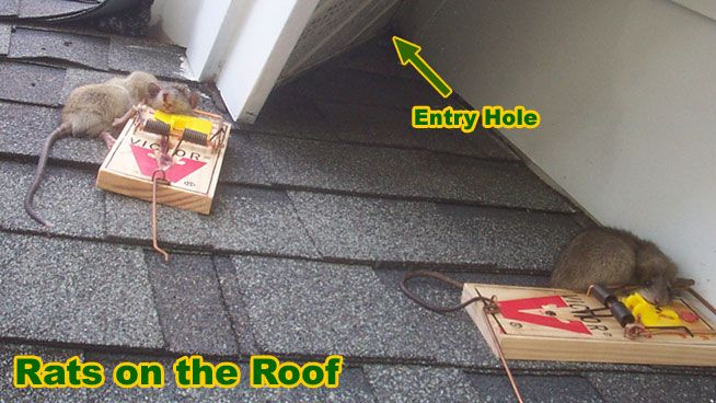 How To Remove And Get Rid Of Rats On The Roof 1 Pest