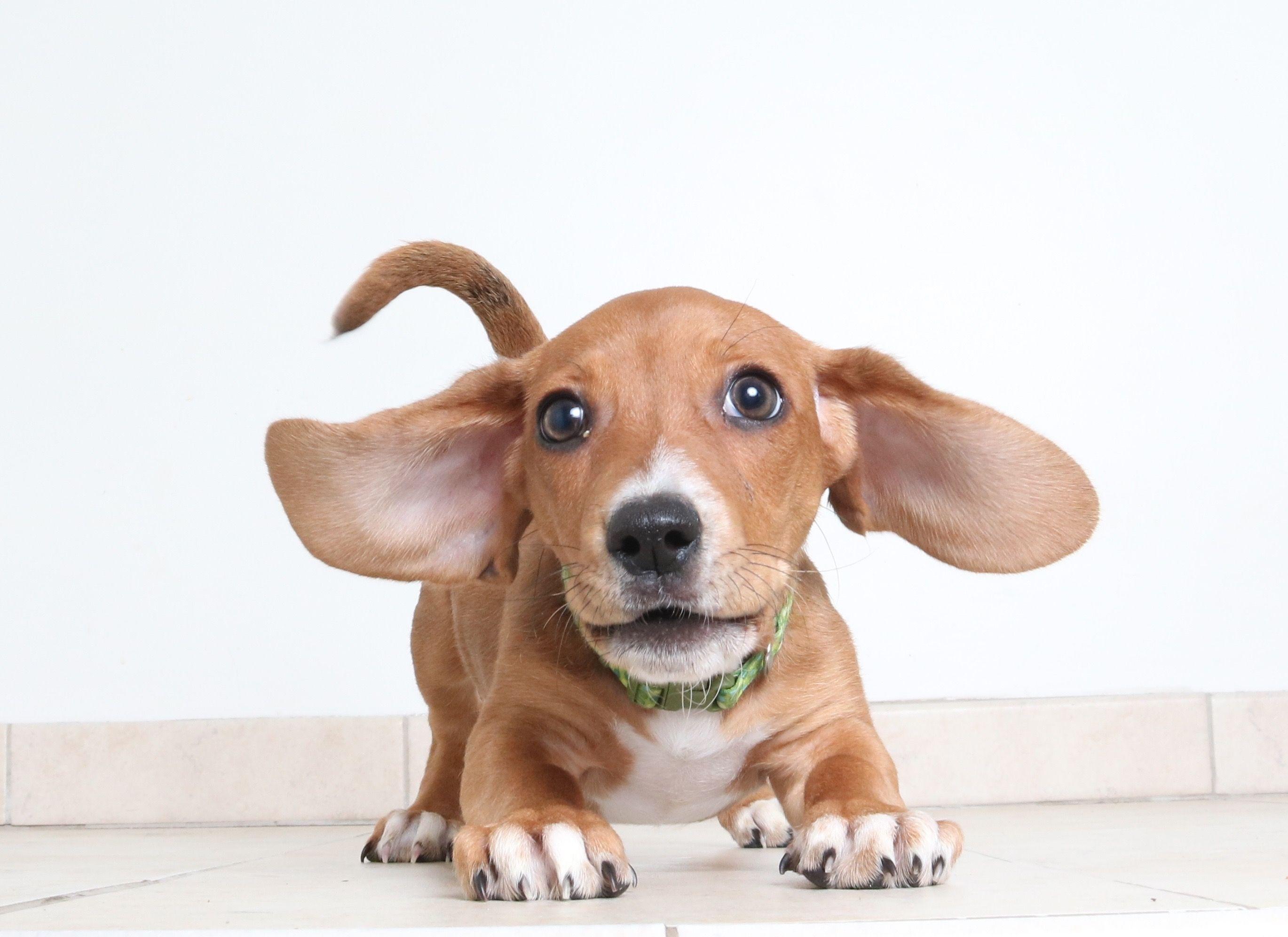 Basschshund dog for Adoption in Eden Prairie, MN. ADN