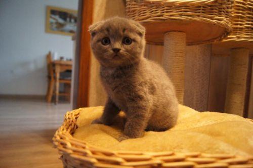 BKH kitten In blau in NordrheinWestfalen Bocholt
