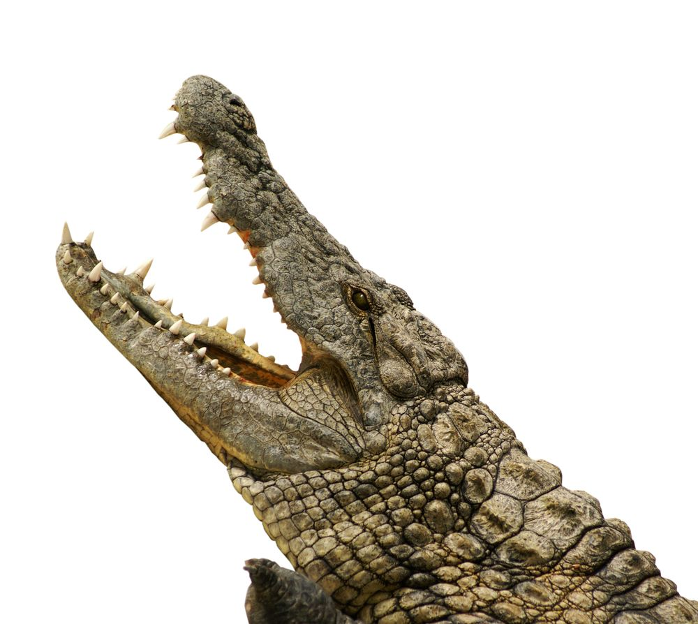 A potentially useless or life-saving tip: To escape the grip of a crocodile's jaws, push your thumbs into its eyeballs -- it will let you go instantly.