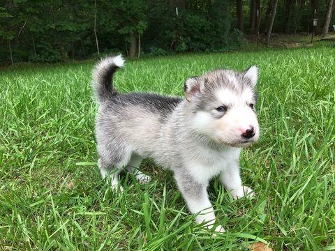 Litter Of 4 Alaskan Malamute Puppies For Sale In Jefferson City
