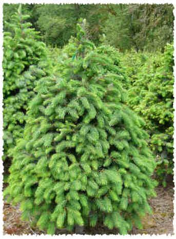 Douglas Fir Fresh Christmas Trees Types Of Christmas Trees Fresh Christmas Trees Christmas Tree Farm
