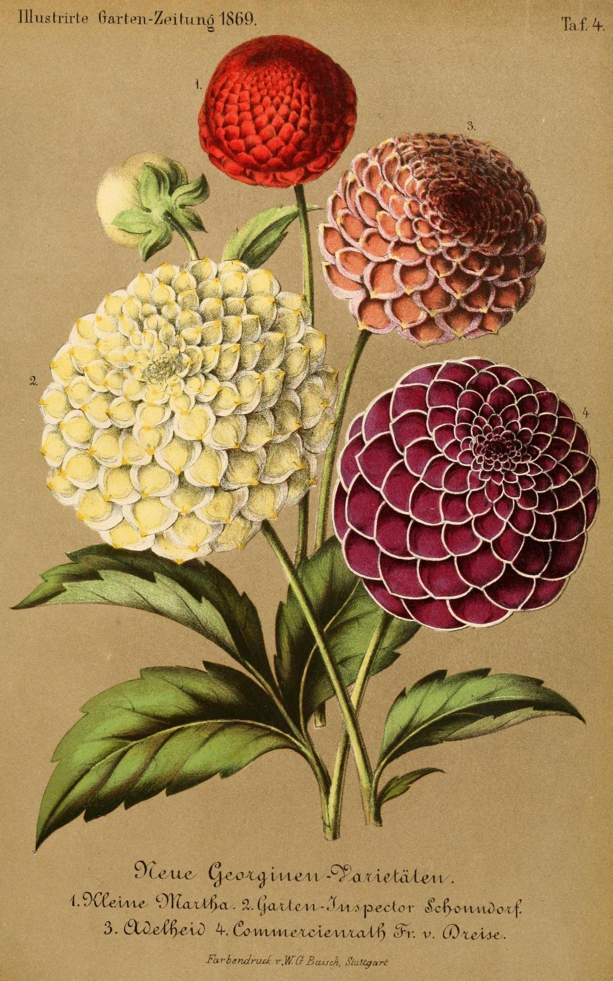 Bd 13 1869 Illustrierte Garten Zeitung Biodiversity Heritage Library Botanical Painting Botanical Art Digital Flowers
