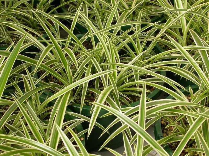 spider plant chlorophytum comosum part shade to full shade houseplants safe for cats. Black Bedroom Furniture Sets. Home Design Ideas