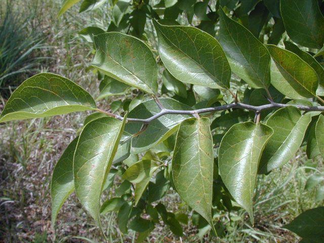 Maclura pomifera (Osage orange)   Plant leaves, Maclura ...