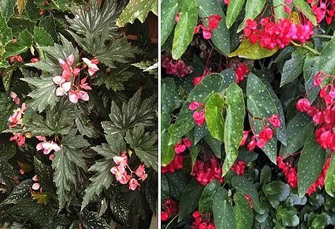 Cane Begonia, Angelwing Begonia  Begonia aconitifolia, Begonia coccinea