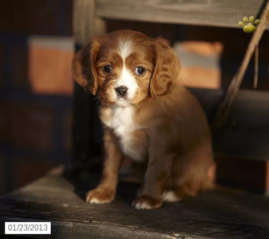 Precious Little Puppy Cute Animals Maltese Poodle Puppies Maltipoo Puppy