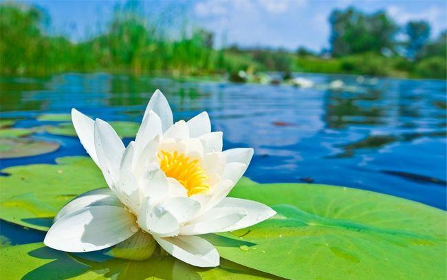 50 beautiful free hd flower wallpapers designmaz lotus 50 beautiful free hd flower wallpapers designmaz voltagebd Images