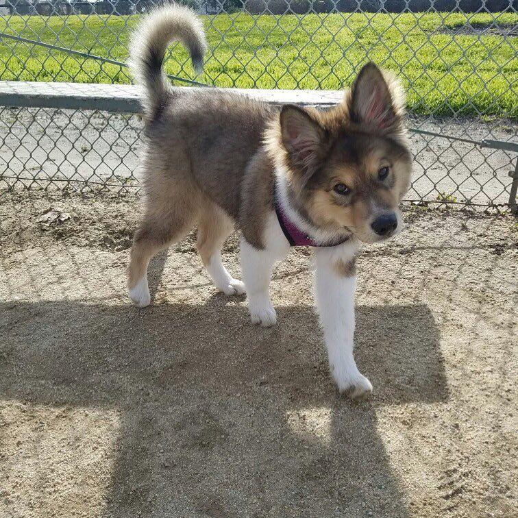 Aussie Malamute Mix Named Delphi Corgi Aussie Mix Hybrid Dogs Shepherd Mix Dog
