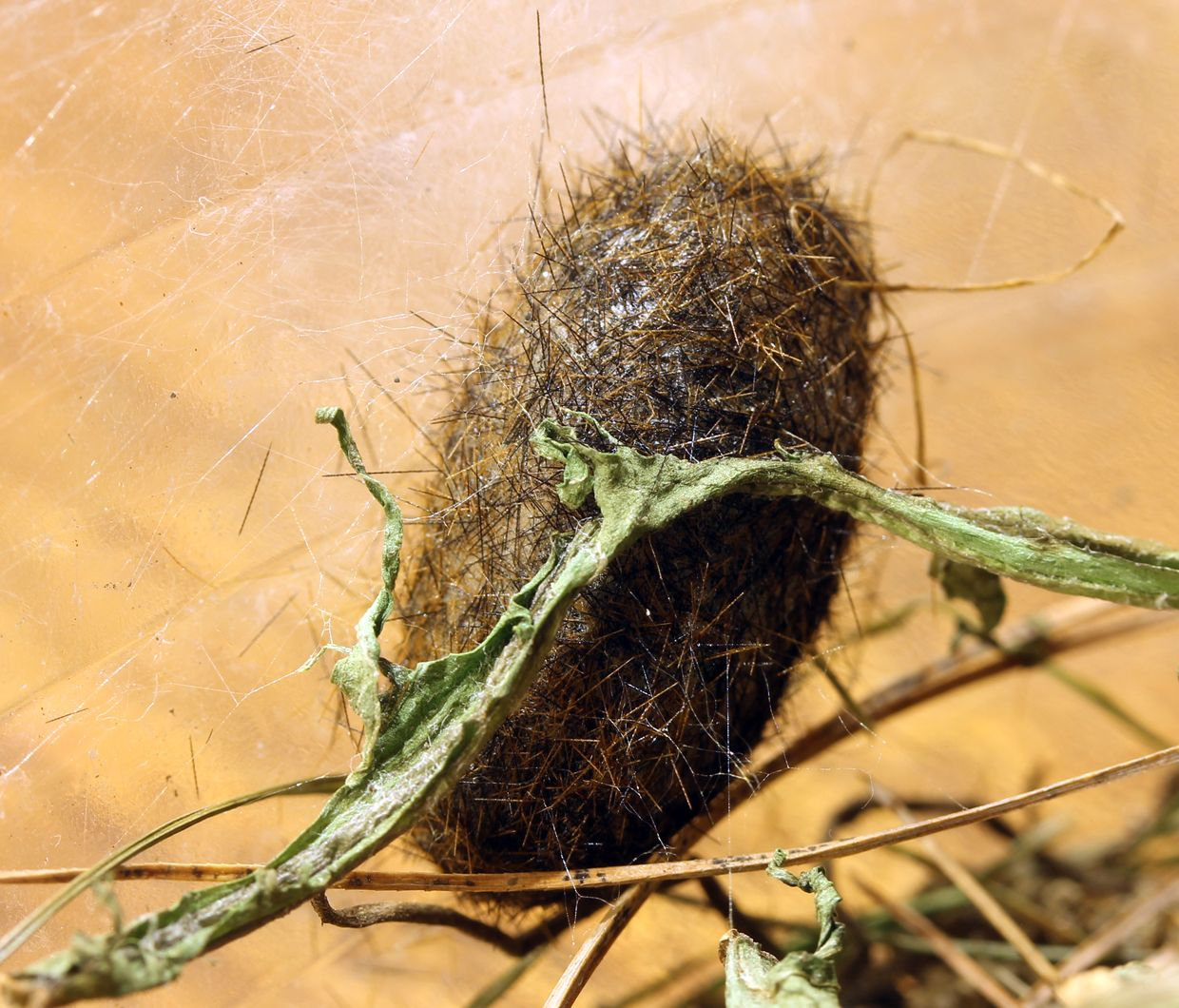 All Black Woolly Bear Caterpillars: How To Keep A Wooly Bear Caterpillar