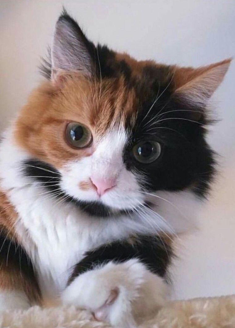 Calico Kitty In 2020 Cute Cats And Kittens Pretty Cats Cute Cats