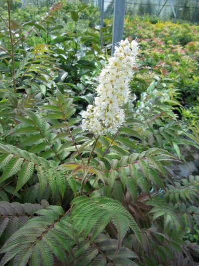 Sobaria Shrub Care Learn How To Grow False Spirea Shrub Care Shrubs Plants Under Trees