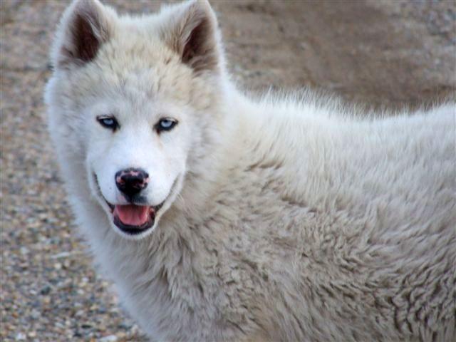 White Siberian Husky Wolf Mix Photo White Siberian Husky Husky