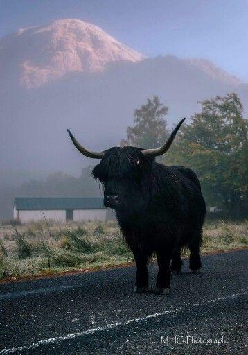 Captured In Glen Nevis Highland Cattle Highland Cow Cattle