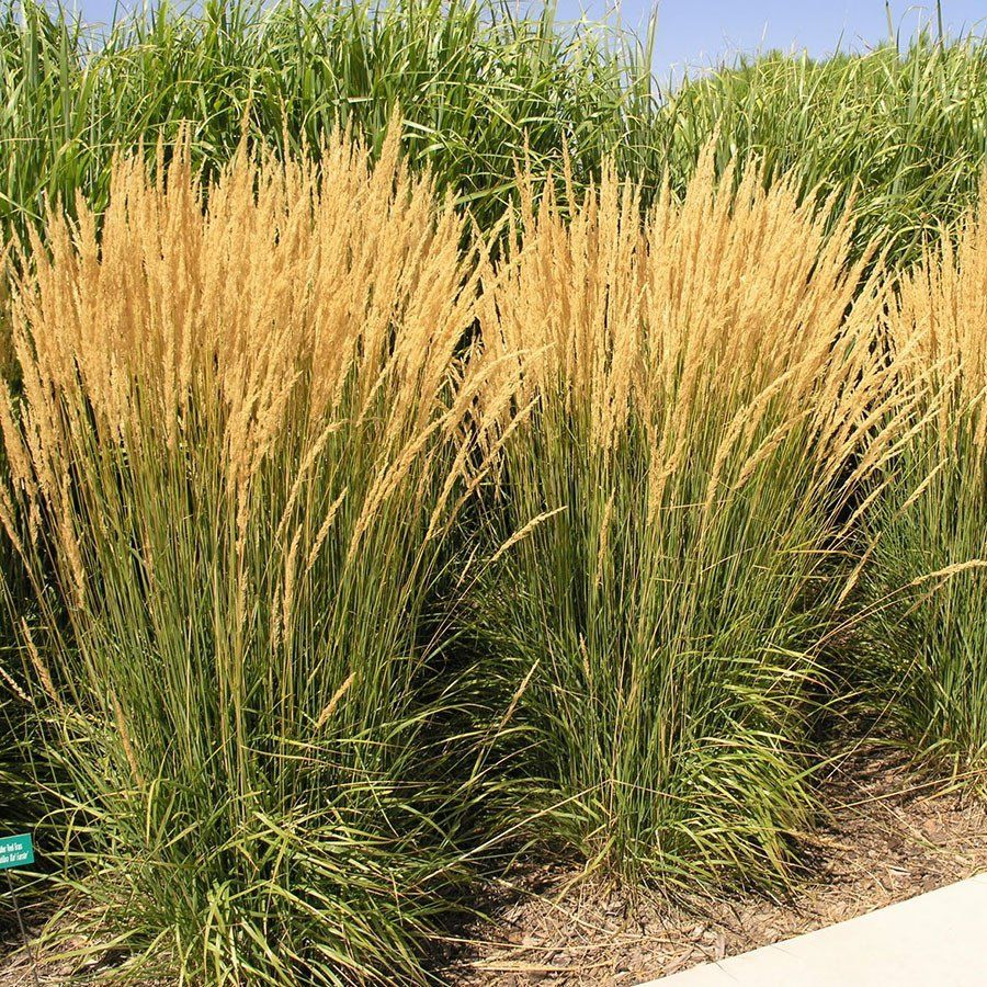 Feather Reed Grass Calamagrostis X Acutiflora 39 Karl Foerster 39 Is One The Most Well Know And Feather Reed Grass Grasses Landscaping Ornamental Grasses
