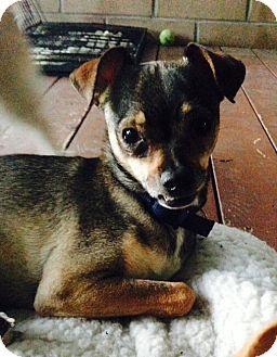 Santa Ana, CA Manchester Terrier/Pug Mix. Meet Bunkie