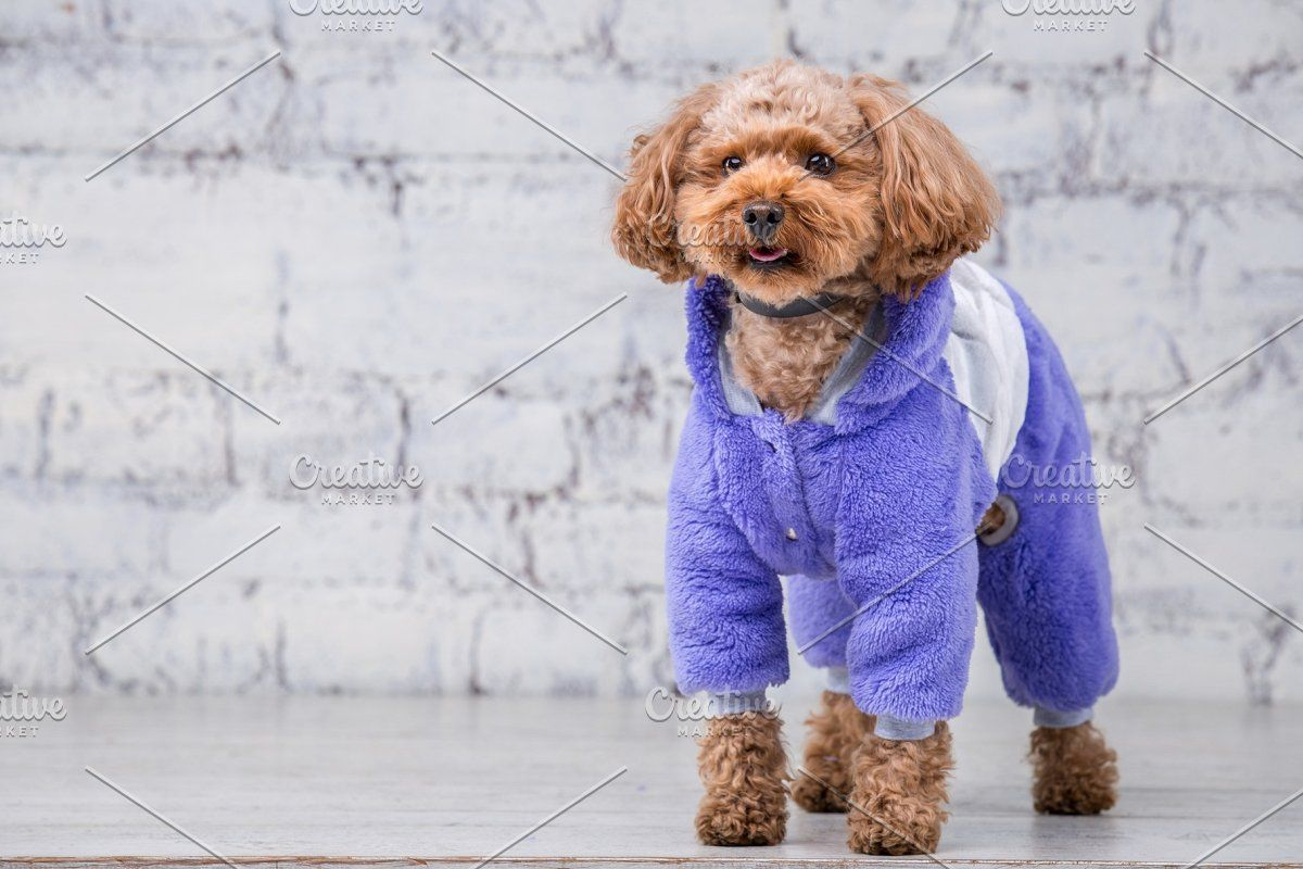 Small Funny Dog Of Brown Color With In 2020 Funny Dogs Stylish Overalls Dog Clothes